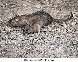 ratas,