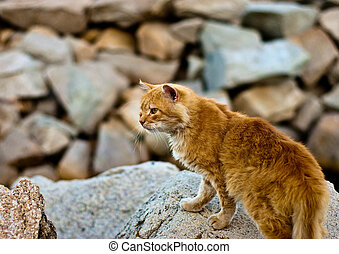 Red cat on the rocks - Red, wild cat climbing rocks while...