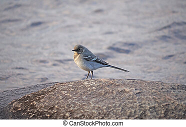 gray wagtail on stone