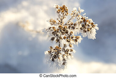 Cow Parsley Covered in Frost in winter close up.