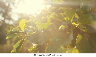 Sun Comes Up Through Apple Trees at Sunrise