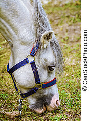 Portrait of Horse - Portrait of White Horse Eating Grass