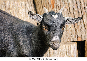 Portrait of Goat - Portrait of Black Goat with Small Horns