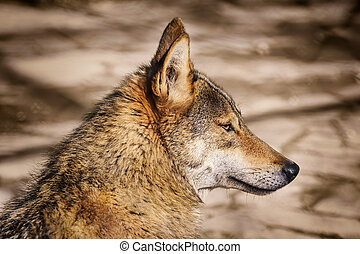 Portrait of Wolf - Portrait of the Wolf Looking Ahead