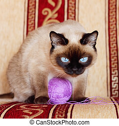 Siamese cat with a pink ball
