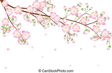 Cherry blossom branch isolated on white background