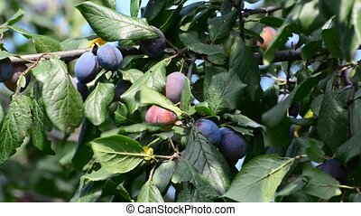 Sweet ripe blueplum on a branch - A Sweet ripe blueplum on a...
