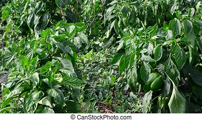 green young peppers growing in  field or plantation
