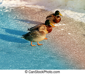 beautiful ducks and drakes are on ice river photographed...
