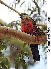 Australian King Parrot (Alisterus scapularis) - Juvenile...