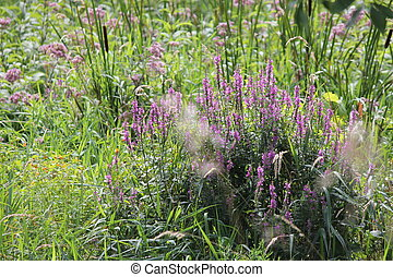 Purple Loosestrife (Lythrum salicaria) an invasive species...
