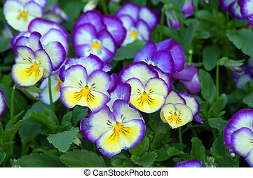 blue yellow pansy flower - an isolated shot of blue yellow...