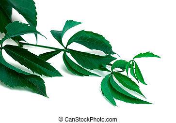 Branch of grapes leaves Parthenocissus quinquefolia foliage...