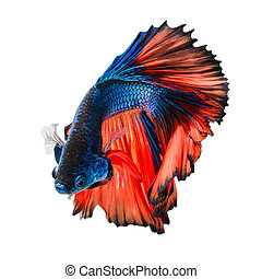 Betta fish, siamese fighting fish, betta splendens isolated...