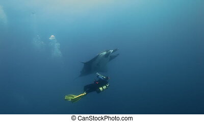 Manta swimming near a diver in blu sea water. Giant Manta...