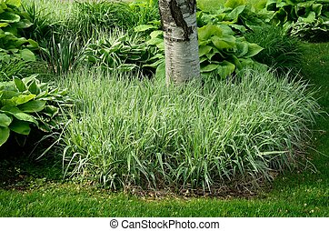 Backyard Landscaping with Variegated Ribbon Grass and Hostas