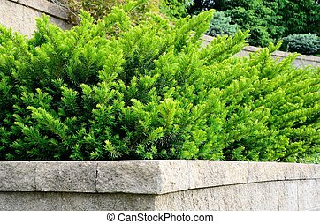Tiered Retaining Wall with Yew Shrubs