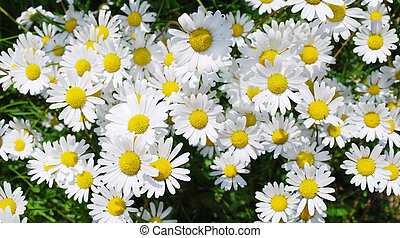 marguerite flowers - many ox-eye daisy flowers in spring