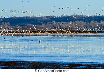 Migrating Snow Geese - Snow Geese taking off from a wetland...