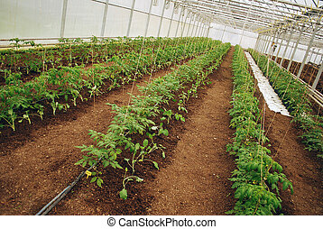 Tomatoes in a greenhouse - Young green tomatoes row in a...