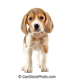Beagle puppy - Beagle 2 months in front of white background...