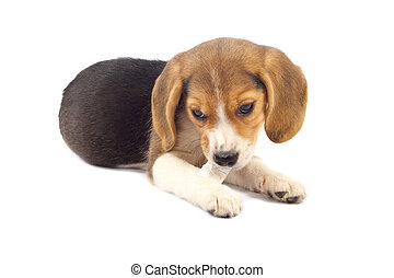 beagle pup chewing