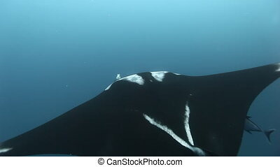 Beautiful pictures manta rays birostris in ocean.
