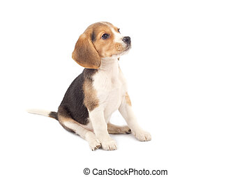 Beagle puppy sitting in front of white background