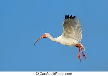 White Ibis flying in blue sky - White Ibis Eudocimus albus...