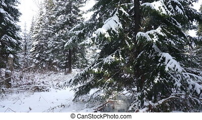 Winter Forest - Coniferous trees covered with snow in the...