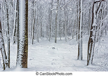 Beech forest in winter 1 - Beech forest in winter on the...