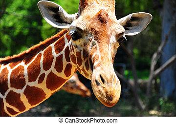 Giraffe - Head Of Reticulated Giraffe, Girafa Camelopardalis...