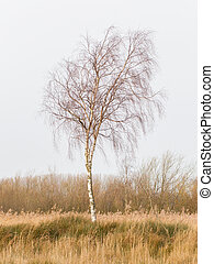 Bare Silver birch Betula pendula in the dutch landscape