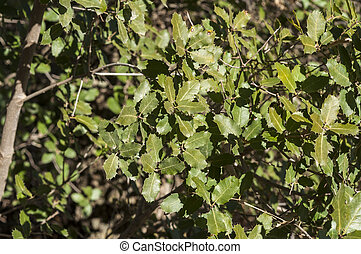 Gall Oak, Quercus faginea - Detail of leaves and branches of...