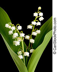 Muguet lillies - Twigs of muguet or lilly of the valley