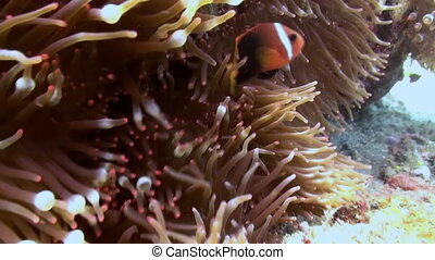 Clown anemone fish in the sea on slopes of reef.