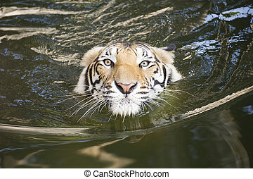 Tiger swimming - Close up face of Tiger swimming on the pond