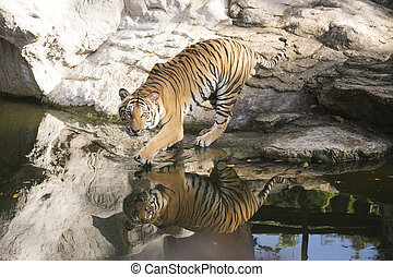 Bengal Tiger walking to the pond