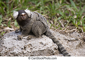 Common Marmoset on the floor - Close up Common Marmoset on...