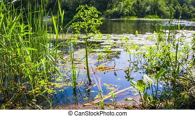 Algae, water lilies and green vegetation on the banks of the...