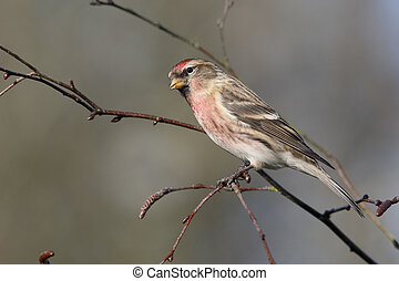 Lesser redpoll, Acanthis cabaret, single bird on branch,...