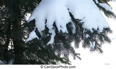 The branch of spruce with snow and hand shakes off the snow...