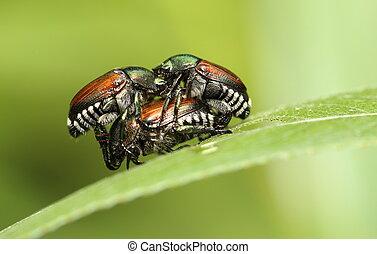 japonés, escarabajos,