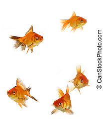 Goldfish set - Goldfish collection isolated on white...