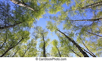 Tree tops in peaceful blue sky - Summer forest with green...