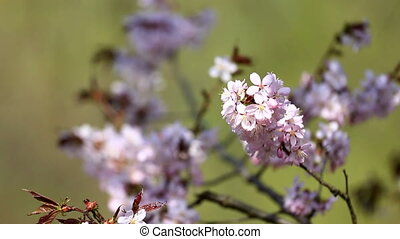 Cherry flowers in bloom close up - Close up view at purple...