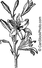 Lily or Lilium sp., vintage engraving - Lily or Lilium sp.,...