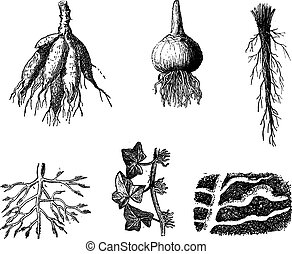 Different stages of Dahlia roots vintage engraving - Old...