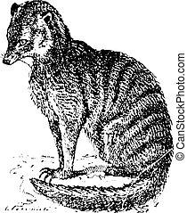 Meerkat or Suricate, vintage engraving. - Meerkat or...