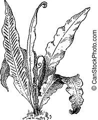 Hart's Tongue Fern or Asplenium scolopendrium, vintage...